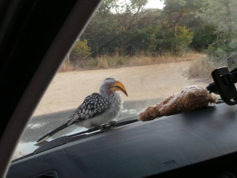 A hornbill trying to molest Dusty through the windscreen